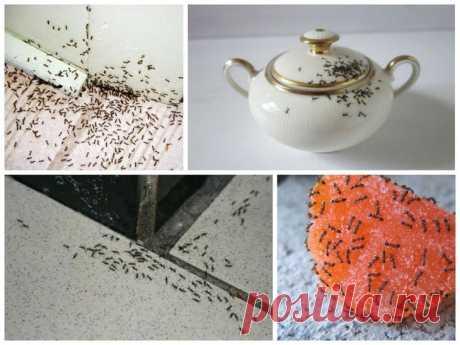 Как изгнать домашних муравьев из жилища, используя борную кислоту?