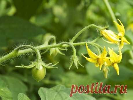 Чем правильно подкормить помидоры во время цветения и завязывания плодов: минеральные удобрения или органические смеси.