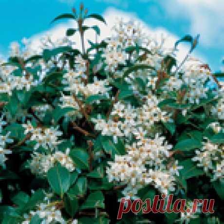 Османтус - красивое растение с фруктовым ароматом для вашего дома!