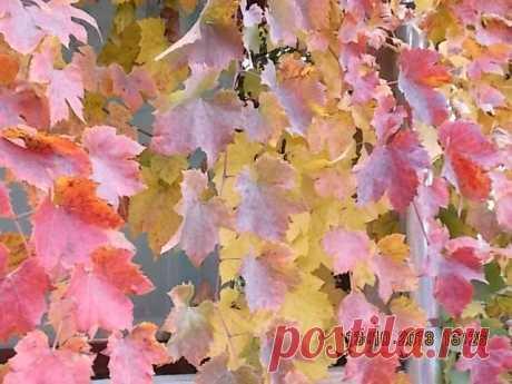 Цвет листьев винограда меняется очень быстро