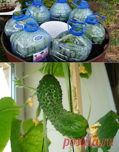 Как вырастить огурцы в бутылке