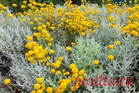 Сантолина – неприхотливый многолетник в саду Редкая в наших садах сантолина на удивление неприхотлива, а смотрится в цветнике очень эффектно: на фоне серебристых листьев – золотые шарики соцветий. Этот многолетник будет радовать цветением с июня по август.Сантолина – вечнозеленый многолетний полукустарник высотой от 10 до 60 см из...