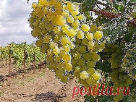 КАК ПРАВИЛЬНО ФОРМИРОВАТЬ ВИНОГРАД ДЛЯ БОЛЬШОГО УРОЖАЯ!              Многие начинающие виноградари задаются вопросом, как формировать виноград, чтобы он приносил большие, а главное постоянные урожаи. Ведь именно от правильного формирования куста винограда в первую очередь зависит его урожайность. В областях, изначально не приспособленных для выращивания этой вкуснейшей ягоды, чаще всего выбирают укрывной метод выращивания, для которого формирование винограда выполняют в ви...