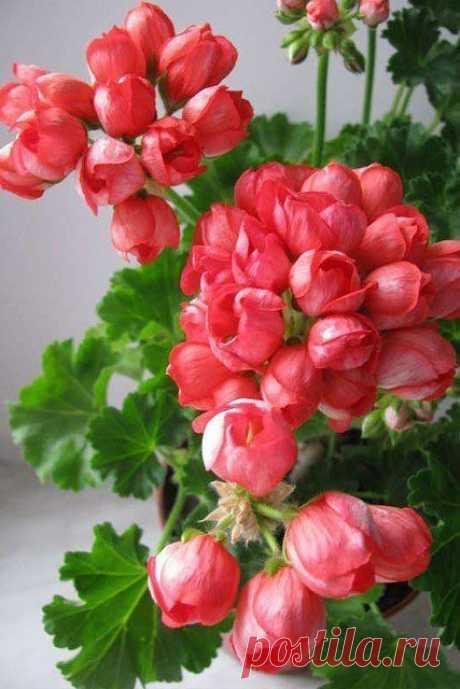 Пеларгонии Тюльпановидные - Tulipa pelargonium  Интересная и привлекательная группа сортов!  Цветочки очень похожи на тюльпанчики, т.к. полностью не открываются.Получаются очень хорошие, маленькие букетики.  Всего 14 сортов и все они очень разные. Есть высокие и стремящиеся вверх барышни, есть маленькие совершенно не спешащие расти, крохи. Цветовая гамма великолепна: от нежнейшего розового цвета - до безумно сумасшедшего малинового оттенка! Так же каждая красотка украсила ...