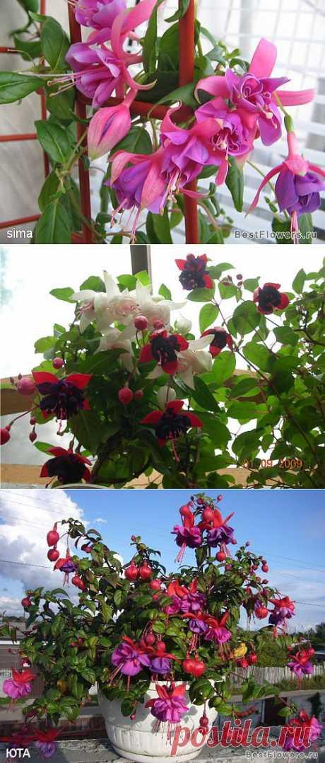 Фуксия в цвету (фото цветения) :: Форум - Комнатные растения и цветы на forum.bestflowers.ru. Сейчас начинаю знакомиться с агротехникой фуксий. Вот первые результаты. .