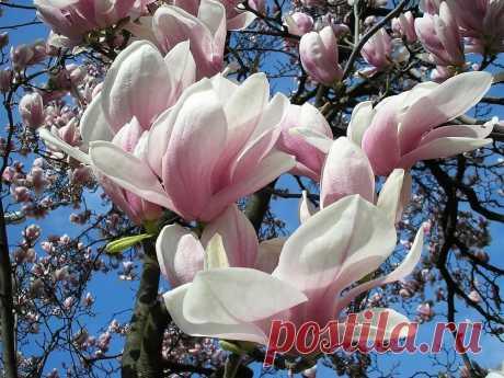 тюльпановое дерево фото: 4 тыс изображений найдено в Яндекс.Картинках