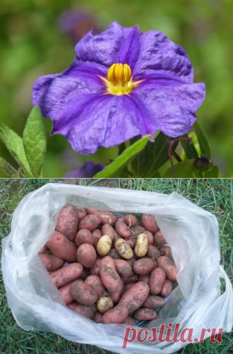 Получение супер раннего картофеля. Метод с банкой | В темпі життя