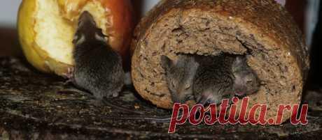 Самый гуманный способ прогнать мышей | Садовичок | Яндекс Дзен