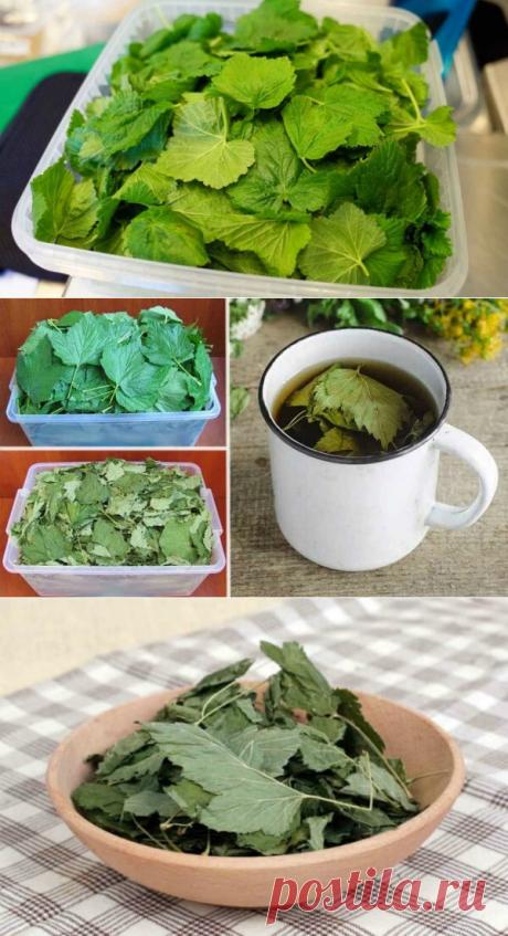 Зачем я каждый год сушу листья смородины? Да потому что они лечат кучу болезней — Бабушкины секреты