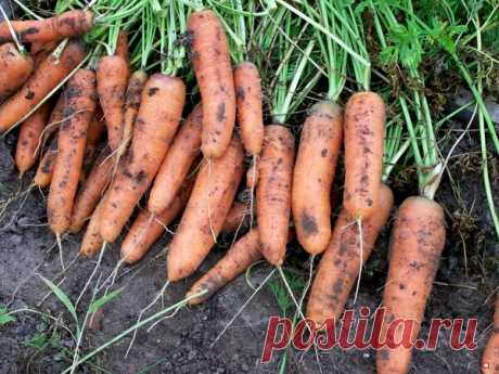 Что нельзя делать при выращивании моркови   Твоя Дача   Яндекс Дзен