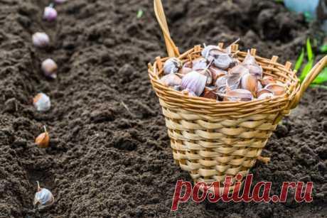 Посадка чеснока под зиму — Садоводка
