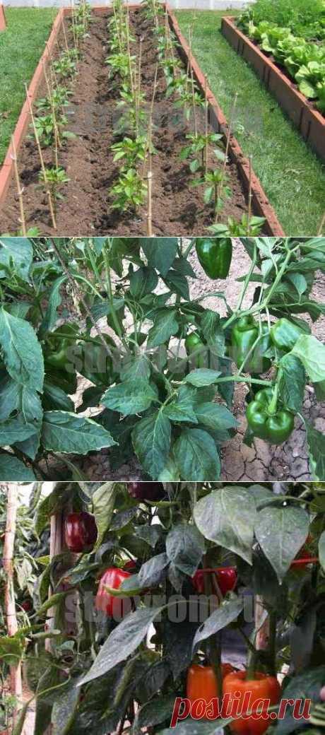 Как вырастить болгарский перец-Делай сам!