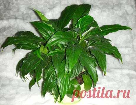 Что делать, если ваш спатифиллум не цветет? Для того чтобы спатифиллум радовал обильным цветением, нужно просто уделять много внимания и заботы растению. Но даже при этом может возникать вопрос почему не цветет спатифиллум выпускает только лист...