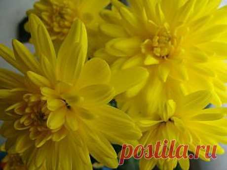 Cultivation of chrysanthemums of the house | the Female website about the woman and society