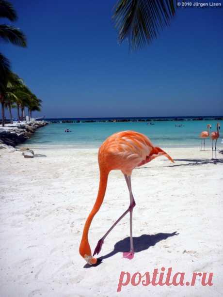 Aquí por la playa pasean los flamencos. La isla Aruba