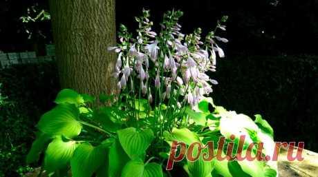 Как правильно ухаживать за хостами, секреты ухода за хостой, хоста уход, красивое декоративное растение в сад :: Жизнь