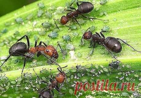 14 способов избавиться от муравьев   Моя прекрасная дача               14 способов избавиться от муравьев 1. Муравьи не переносят резких запахов. Для их отпугивания на муравейник можно положить голову копченой селедки, разрезанный зубч…