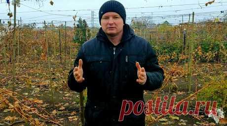 При таком способе укрытия Ваш виноград отлично переживёт любую зиму!   Виноград VM   Яндекс Дзен