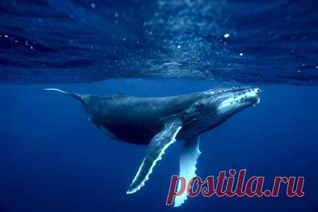 Большинству популяций горбатых китов больше не грозит вымирание — Naked Science