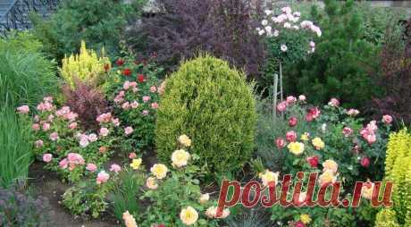 Карликовые хвойные растения - отличный выбор | Наталья Кудрявцева | Яндекс Дзен