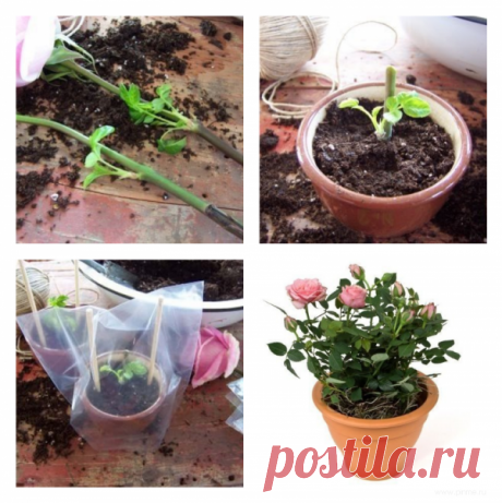 How to grow up a rose from a cut flower. Is checked-works!