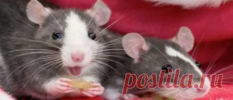 Гороскоп на 2020 год для Крысы: женщины или мужчины
