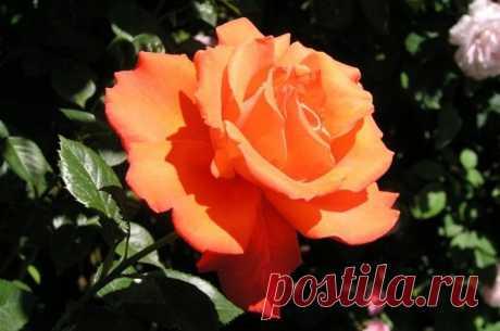 Как вырастить красивые розы на вашем участке Розы – любимые цветы многих. Но качественные цветы купить не так уж и дешево, поэтому большинство пытаются вырастить их в собственном саду. Чтобы на этот раз результат поразил вас, воспользуйтесь советом, приведенным ниже...