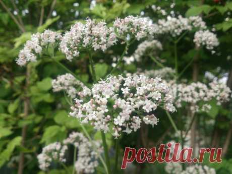 (Valeriana officinalis) Многолетнее травянистое растение, достигает в высоту 1,5 (1,2—1,8)метра. Успокаивающее, при бессоннице, неврозы сердечно – сосудистой системы.