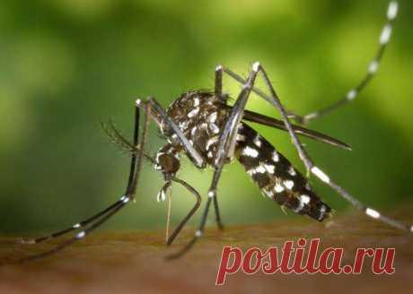 Тропические комары приспособились выживать даже в морозы В 1980-х в США появился Азиатский тигровый комар родом из тропических и субтропических районов Юго-восточной Азии. Климатические условия некоторых штатов,