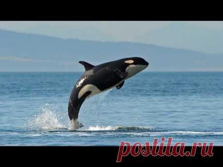 Невероятные прыжки  китов , акул, дельфинов  - Выше, дальше ,быстрее