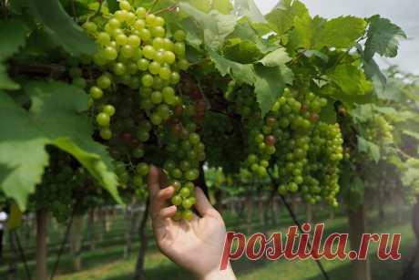 7 правил летней обрезки винограда