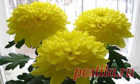 Хризантема комнатная — уход в домашних условиях - Огород, сад, балкон - медиаплатформа МирТесен