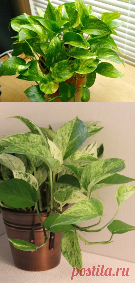 8 лучших комнатных растений-фильтров. Какие растения лучше очищают воздух? Список, фото - Ботаничка.ru - Страница 9