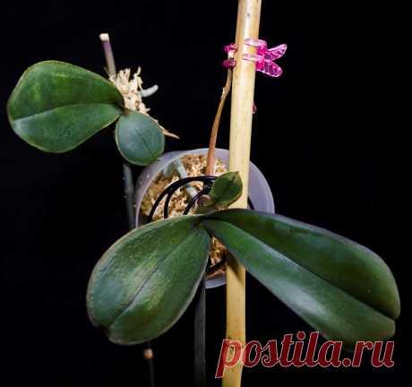 Размножение орхидей и уход за ними в домашних условиях, фото и видео