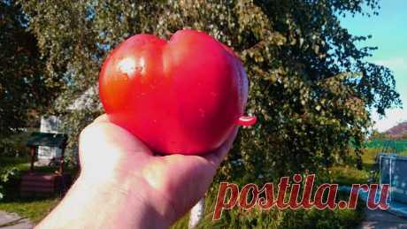 5 важных дел, без которых не будет богатого урожая помидоров. | Посад | Яндекс Дзен