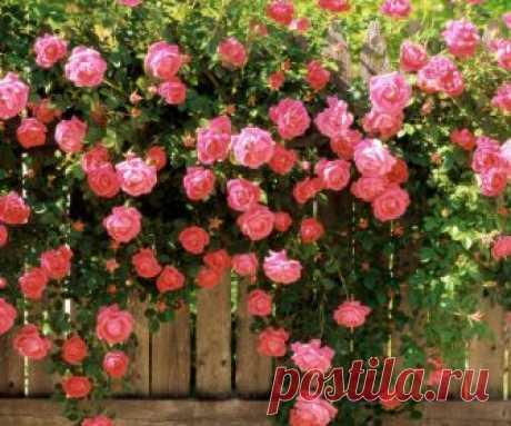 Сода для роз — тайный секрет моей свекрови | Цветы в квартире и на даче – от Радзевской Виктории | Яндекс Дзен