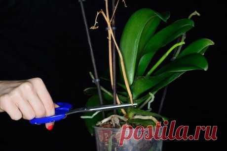Что делать и почему у орхидеи полностью засох цветонос