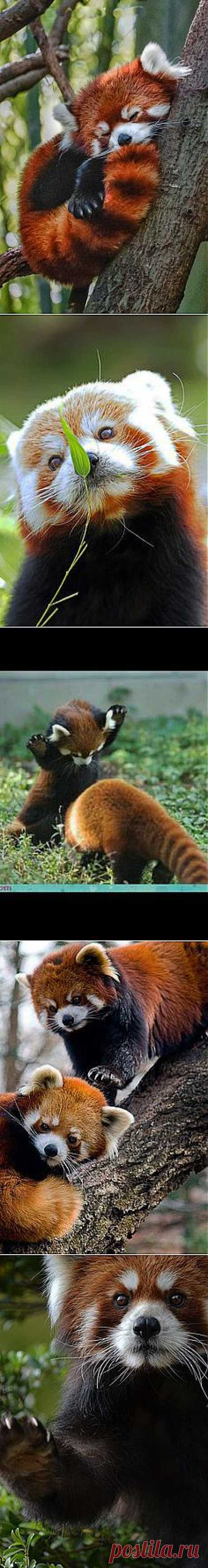 Red Panda | Animals