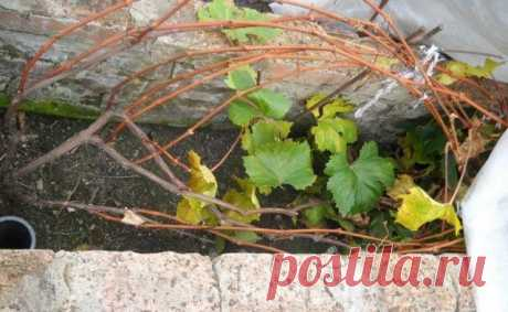 Секреты правильной посадки винограда   Виноград (Огород.ru)