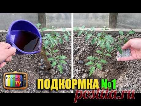 Первая и самая важная подкормка томатов после высадки в грунт