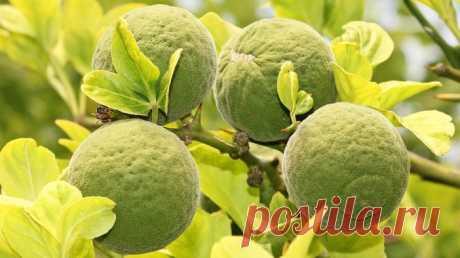 Померанец – что за фрукт и чем полезен?