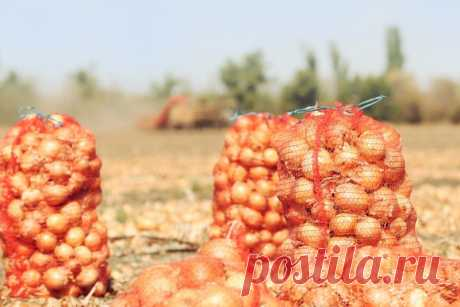 Советы по увеличению урожая лука | Азбука огородника | Пульс Mail.ru Лук выращивали все и уже давно. Ничего сложного в этом процессе нет. Но вот все же, чтобы добиться наилучших результатов, надо соблюдать некоторые правила.