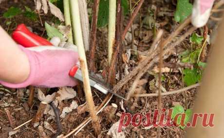 Як та коли правильно обрізати малину  Як правильно обрізати малину весною, влітку, восени. Коли обрізати малину?