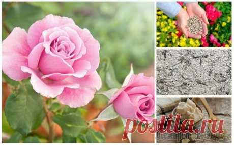 Чем подкормить розы весной и летом для пышного цветения Для того чтобы розы радовали вас не редкими одинокими бутонами, а обильным долгим цветением, им необходим правильный уход, в том числе своевременное внесение удобрений. Розарии никогда не выходят из м...