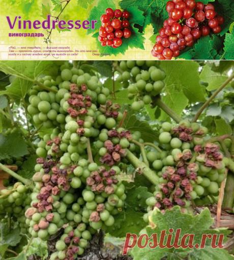 Солнечный ожог ягод винограда