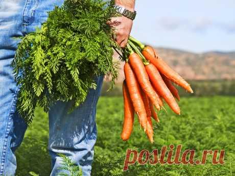 Секретный метод выращивания моркови: урожай гарантирован - Образованная Сова