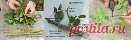 Черенкование роз (совет от Нины Соловьевой) — Садоводка