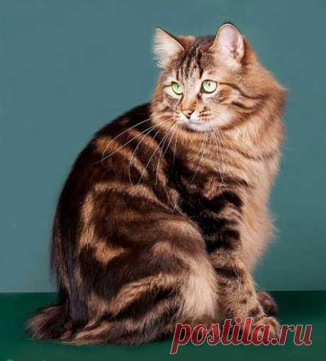 Виртуальный клуб «Виртуальные выставки кошек и собак» / Блог / Курильский бобтейл