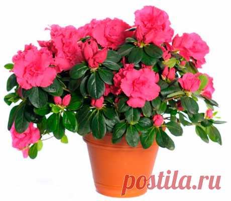 Азалия: уход в домашних условиях, пересадка и размножение Азалия относится к числу наиболее красивых комнатных растений, потому что она цветет очень обильно. Однако зачастую цветоводы жалуются на то, что спустя немного времени после приобретения такого цветка, он погибает.