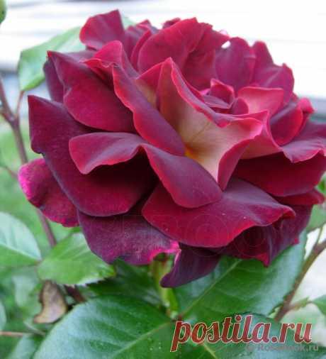 Роскошные розы из шелка — Рукоделие